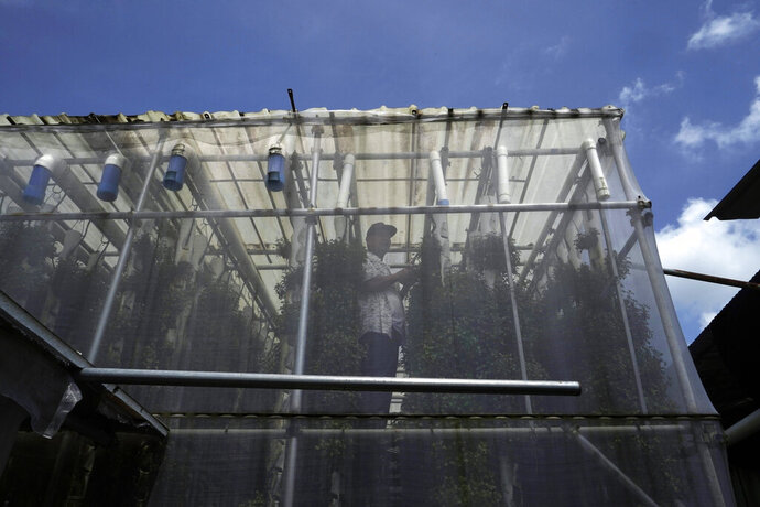 Arthur Lee, owner of MoVertical Farm, works on the plastic pillars with hydroponic vegetable cultivation at his farm in Yuen Long, Hong Kong's New Territories Tuesday, Sept. 22, 2020. Operating on a rented 1,000 square meter patch of wasteland in the Hong Kong's rural area, Lee's farm utilizes around 30 of the decommissioned containers, to raise red water cress and other local vegetables hydroponically, which eliminates the need for soil. A few are also used as ponds for freshwater fish. (AP Photo/Kin Cheung)