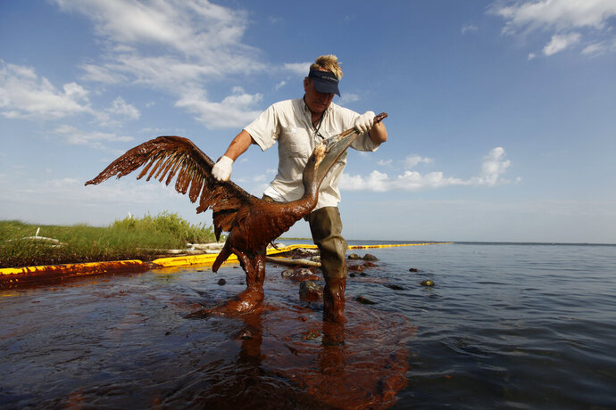 FILE - In this June 5, 2010 file photo, Plaquemines Parish coastal zone director P.J. Hahn lifts an oil-covered pelican which was stuck in oil at Queen Bess Island in Barataria Bay, just off the Gulf of Mexico in Plaquemines Parish, La. Nearly $10 million in 2010 oil spill money is rebuilding the barrier island bird rookery off Louisiana. Work on Queen Bess Island had to wait for this year's nesting season to end in August and must finish by late February or early March, before the next nesting season. The island, which was heavily hit by oil from the Deepwater Horizon spill, supports Louisiana's third-largest brown pelican nesting colony. (AP Photo/Gerald Herbert, File)