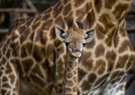 In this Friday, May 17, 2019 photo, one-month old giraffe Gema stands in front her mother Pretoria as she was presented at the Buin Zoo in Santiago, Chile. Zoo director Ignacio Idalsoaga said that Gema was born 35 days ago measuring 1.60 meters in hight and weighing about 70 kilos, after a gestation of 15 months. (AP Photo/Esteban Felix)
