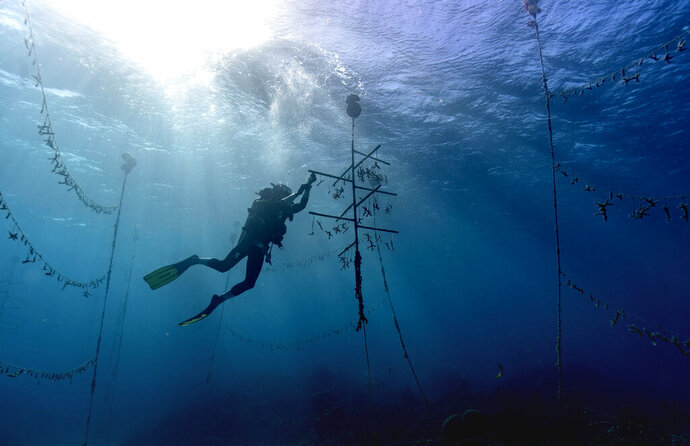 Diver Lenford DaCosta cleans up lines of staghorn coral at an underwater coral nursery inside the Oracabessa Fish Sanctuary, Tuesday, Feb. 12, 2019, in Oracabessa, Jamaica. With fish and coral, it's a codependent relationship. The fish rely upon the reef structure to evade danger and lay eggs, and they also eat up the coral's rivals. (AP Photo/David J. Phillip)