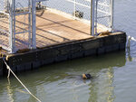 FILE - In this Feb. 27, 2009 file photo, a California sea lion swims near the entry to a sea lion trap on the Columbia River near Bonneville Dam in North Bonneville, Wash. Federal authorities on Friday, Aug. 14, 2020 granted permission for Washington, Oregon, Idaho and several Native American tribes to begin killing hundreds of salmon-hungry sea lions in the Columbia River and its tributaries over the next five years. (AP Photo/Don Ryan, File)