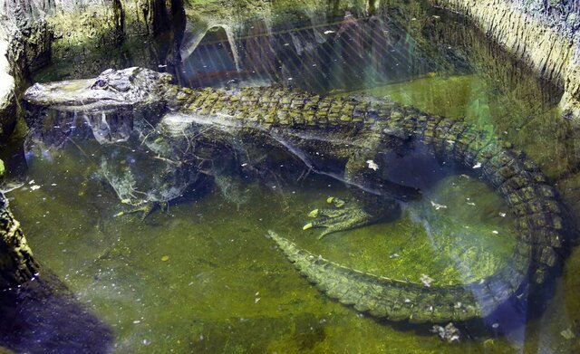 In this photo taken on Tuesday, Feb. 19, 2019, the alligator Saturn swims in water at the Moscow Zoo, in Moscow, Russia. An alligator that many believed to have once belonged to Adolf Hitler has died in the Moscow Zoo. The zoo said the alligator, named Saturn, was about 84 years old and died on Friday. (AP Photo/Mikhail Bibichkov)