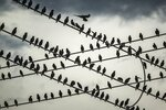 European starlings perch atop Florida Power & Light transmission lines along Southern Boulevard and Dixie Highway at dusk in West Palm Beach, Fla., on Wednesday, Sept. 8, 2021.  (Thomas Cordy /The Palm Beach Post via AP)