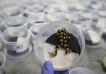 """An Oophaga histrionica anchicaya is packed for export at the """"Tesoros de Colombia"""" frog breeding center in Cundinamarca, Colombia, Tuesday, April 23, 2019.  """"Tesoros de Colombia"""" aims to curtail the trafficking of wild animals by providing frog enthusiasts with a more eco-friendly alternative: specimens bred in captivity. (AP Photo/Fernando Vergara)"""