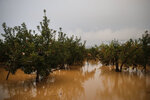 Apple trees stand in floodwaters Monday, Oct. 14, 2019, in Hoyasu, Japan. Rescue crews in Japan dug through mudslides and searched near swollen rivers Monday as they looked for those missing from a typhoon that left as many as 36 dead and caused serious damage in central and northern Japan. (AP Photo/Jae C. Hong)