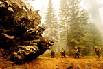 Firefighters battle the Windy Fire as it burns in the Trail of 100 Giants grove of Sequoia National Forest, Calif., on Sunday, Sept. 19, 2021. Flames scorched at least two sequoia trees as firefighters worked to defend the grove. (AP Photo/Noah Berger)