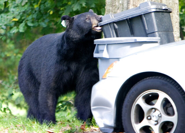 FILE - In this Sept. 26, 2006, file photo, a black bear that had been previously tranquilized and removed from a Waterbury, Conn., neighborhood in July 2006, chews on a garbage container in Wolcott, Conn. The Connecticut Department of Energy and Environmental Protection said Tuesday, July 14, 2020, that they are receiving