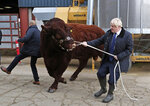 A bull bumps into a plain clothes police officer, left, while being walked by Britain's Prime Minister Boris Johnson during a visit to Darnford Farm in Banchory near Aberdeen, Scotland, Friday Sept. 6, 2019, to coincide with the publication of Lord Bew's review and an announcement of extra funding for Scottish farmers. (Andrew Milligan/PA via AP)