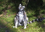 This undated photo provided by the San Francisco Police, courtesy of the San Francisco Zoo, shows a missing lemur named Maki. The ring-tailed lemur was missing from the San Francisco Zoo after someone broke into an enclosure overnight and stole the endangered animal, police said Wednesday, Oct. 14, 2020. The 21-year-old male lemur was discovered missing shortly before the zoo opened to visitors, zoo and police officials said. They're seeking tips from the public in hopes of finding the lemur, explaining that Maki is an endangered animal that requires specialized care. (Marianne V. Hale/San Francisco Zoo via AP)