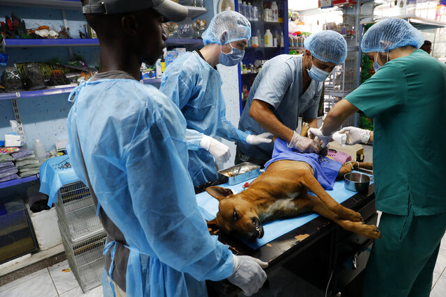 Palestinian veterinarians neuter a dog at a clinic in Gaza City, Monday, July 13, 2020. In the impoverished Gaza Strip, where most people struggle to make ends meet amid a crippling blockade, the suffering of stray dogs and cats often goes unnoticed. (AP Photo/Adel Hana)