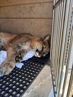 This photo provided by Clark County shows a 60-pound female mountain lion after it was tranquilized and captured Thursday, April 1, 2021, by Nevada Department of Wildlife game wardens in a west Las Vegas foothills neighborhood. It was released in a remote area of the Spring Mountains. Officials say the cat is believed to be the same one seen several times in recent weeks in Summerlin neighborhoods and golf courses. (Clark County via AP)