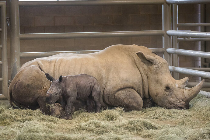 This Monday, July 29, 2019 photo provided by the San Diego Zoo shows a day-old southern white rhino calf stands beside its resting mother, Victoria, at the at the Nikita Kahn Rhino Rescue Center at the San Diego Zoo Safari Park in Escondido, Calif. The zoo has announced the first successful artificial insemination birth of a southern white rhino in North America. San Diego Zoo Global says the mother gave birth to a healthy male calf Sunday July 28, 2019, at the San Diego Zoo Safari Park. Mother and calf will remain off-limits to the public for now to allow them to bond. (Ken Bohn/San Diego Zoo via AP)
