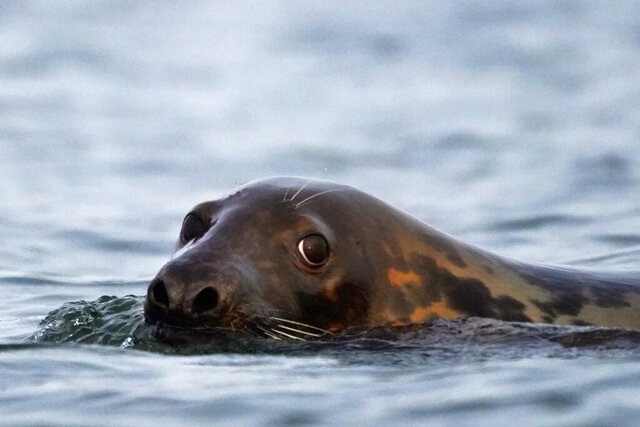 A grey seal swims in Casco Bay, Tuesday, Sept. 15, 2020, off Portland, Maine. Seals, especially grey seals, are being blamed for attracting sharks and for stealing from commercial fishermen. Critics say the increased seal population will hurt the economy and scare off tourists. (AP Photo/Robert F. Bukaty)