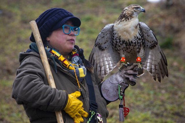 Jade Chen and her red tail hawk, Candy Corn hunt in a wooded field in Grantville, Pa., on Tuesday, Jan. 5, 2020. Chen, a Lansdale native who lives in Mechanicsburg, is a second-year apprentice falconer, one of just 204 people in Pennsylvania licensed to take part in falconry, one of the world's most ancient forms of hunting. (Alejandro A. Alvarez/The Philadelphia Inquirer via AP)