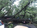 A storm with gusts more than 80 mph knocked down a tree, which crushed about four cars in Des Moines, Iowa on Monday, Aug. 10, 2020. No one was injured. (Nick Coltrain/The Des Moines Register via AP  )