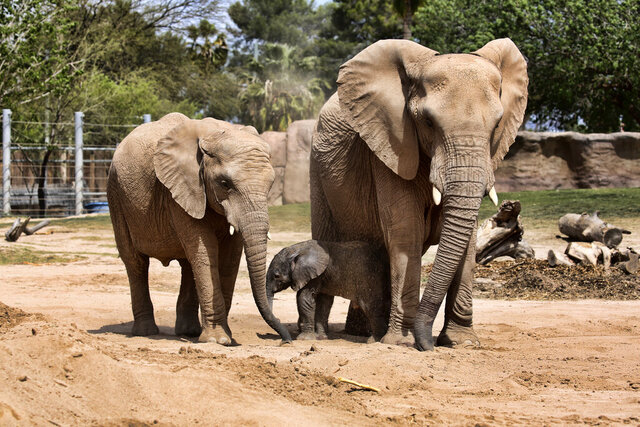 This Monday, April 6, 2020, photo provided by the Reid Park Zoo shows Nandi, 5, left with her newborn sister and their mother Semba, right, in their enclosure at the Reid Park Zoo in Tucson, Ariz. Officials at the zoo are celebrating the birth of the baby elephant. Zoo officials say the baby was born Monday to Semba, a 30-year-old African elephant, and that it weighed nearly 300 pounds (131 kilograms) after 22 months of gestation. Officials described the baby elephant as