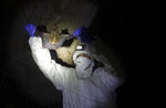 Researcher removing bat from a trapping net in cave inside Sai Yok National Park in Kanchanaburi province, west of Bangkok, Thailand, Saturday, Aug. 1, 2020. Researchers in Thailand have been trekking though the countryside to catch bats in their caves in an effort to trace the murky origins of the coronavirus. (AP Photo/Sakchai Lalit)