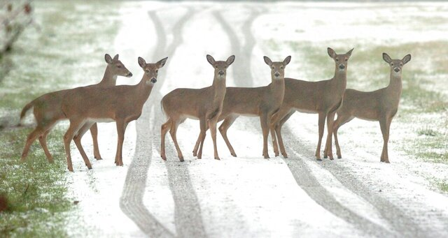 FILE - In this Feb. 1, 2007 file photo, one day after hunting season closed, whitetail deer cross a snow covered driveway in Monrovia, Ala..  Alabama has a new map showing when bucks are most likely to be cruising for does in different parts of the state, giving hunters a better chance of bagging them.   (Patricia Miklik Doyle/The Huntsville Times via AP)