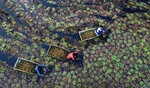 Villagers pluck water chestnuts from a pond in Kanpur, Uttar Pradesh state, India, Wednesday, Dec. 4, 2019. Workers earn about about 250 Rupees ($3.50 USD) a day after spending 5-6 hours extracting the aquatic vegetable that grows mostly in stagnant water. (AP Photo/Rajesh Kumar Singh)