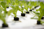 Hydroponic lettuce at Verdegreens in Houston on Thursday, May 7, 2020. (Elizabeth Conley/Houston Chronicle via AP)