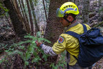 In this photo taken early Jan. 2020, and provided Thursday, Jan. 16, 2020, by the New South Wales National Parks and Wildlife Service, NSW National Parks and Wildlife Service personnel inspect the health of Wollemi pine trees in the Wollemi National Park, New South Wales, Australia. Specialist firefighters have saved the world's last remaining wild stand of a prehistoric tree from wildfires that razed forests west of Sydney. (NSW National Parks and Wildfire Service via AP)