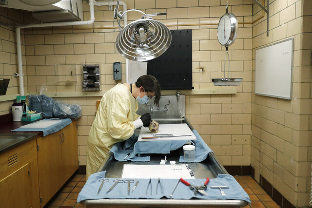 Dr. Desiree Marshall, director of Autopsy and After Death Services for University of Washington Medicine, examines the preserved heart of a person who died of COVID-19 related complications, as she works in a negative-pressure laboratory, Tuesday, July 14, 2020, in Seattle. Seven months after the first patients were hospitalized in China battling an infection doctors had never seen before, countless hours of treatment and research are providing a much closer look at the new coronavirus and the lethal disease it has unleashed. (AP Photo/Ted S. Warren)