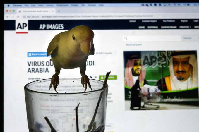 """"""" Sugar"""", a lovebird, stands over an empty cup of tea in front of the laptop of Associated Press photographer Amr Nabil displaying images in Jiddah, Saudi Arabia, Tuesday, July 7, 2020. (AP Photo/Amr Nabil)"""