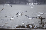 Flocks of gulls make their way along the Ohio River after a winter storm on Monday, Feb. 15, 2021, in Huntington, W.Va. (Ryan Fischer/The Herald-Dispatch via AP)