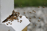 In this Aug. 7, 2019 photo, bees return to a hive at the Veterans Affairs in Manchester, N.H. Veterans Affairs has begun offering beekeeping at a few facilities including in New Hampshire and Michigan, and researchers are starting to study whether the practice has therapeutic benefits. Veterans in programs like the one at the Manchester VA Medical Center insist that beekeeping helps them focus, relax and become more productive. (AP Photo/Elise Amendola)