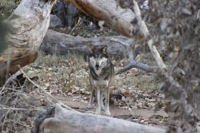 This Jan. 15, 2021 image provided by the ABQ BioPark shows a male endangered Mexican gray wolf named Ryder at the zoo in Albuquerque, N.M. It is part of a pack that has been transported to Mexico for eventual release into the wild as part of conservation efforts in that country. (ABQ BioPark via AP)
