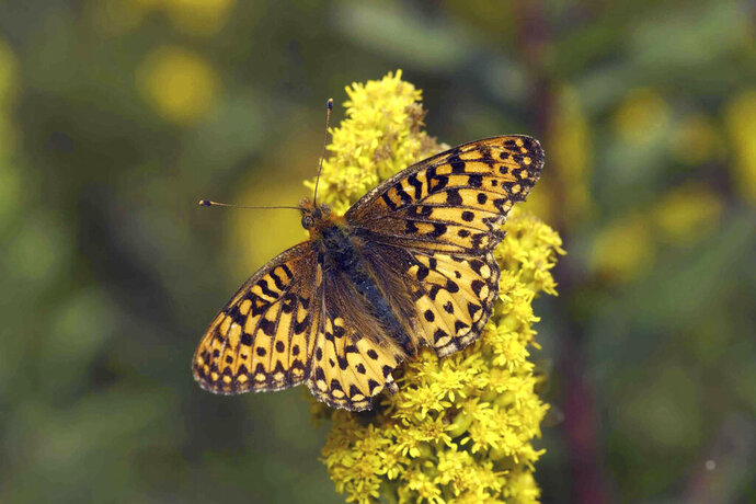 This undated photo provided by the Oregon Zoo shows the threatened Oregon silverspot butterfly in its native coastal habitat on Mount Hebo in Oregon. The Oregon Zoo says it has successfully bred the extremely rare Oregon silverspot butterfly in captivity, resulting in 269 silverspot caterpillars that will eventually be released into the wild. (Michael Durham/Oregon Zoo via AP)