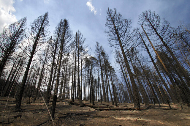 FILE - This July 5, 2011, file photo, shows a grove of ponderosa pines charred by the Las Conchas fire near Cochiti Mesa, N.M. The U.S. Forest Service has been working with states and other partners to treat more acres every year in hopes of reducing the threat of catastrophic wildfire, but Forest Chief Vicki Christiansen acknowledged that a budget proposal for the next fiscal year reflects