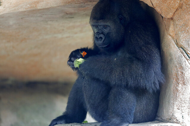 Tumani, a 13-year old critically endangered western lowland gorilla that is expecting to give birth later this summer, eats in her enclosure at the Audubon Nature Institute in New Orleans, Monday, July 6, 2020. If successful, it will be the first gorilla born at the zoo since 1996. (AP Photo/Gerald Herbert)