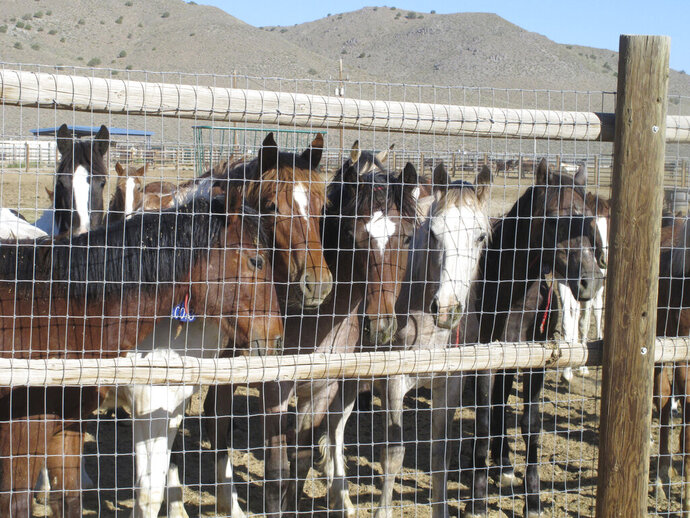 In this June 5, 2013 photo, some of the hundreds of mustangs the U.S. Bureau of Land Management removed from federal rangeland peer at visitors at the BLM's Palomino Valley holding facility about 20 miles north of Reno in Palomino Valley, Nev.  The U.S. Forest Service has built a corral in California that could allow it to bypass federal restrictions and lead to the slaughter of wild horses. The agency acknowledged in court filings in a potentially precedent-setting legal battle that it built the new pen for mustangs gathered in the fall on national forest land along the California-Nevada line because horses held at other federal facilities cannot be sold for slaughter. (AP Photo/Scott Sonner)