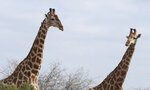In this photo taken Jan. 1, 2015 giraffe are seen in the Kruger National Park, South Africa. An international conference on endangered species known as CITES being held in Switzerland Thursday, August 22 2019, agreed to protect giraffes for the first time, drawing praise from conservationists and scowls from some sub-Saharan African nations. (AP Photo/Kevin Anderson)