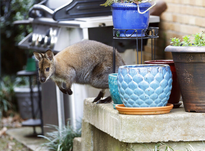 In this Wednesday, March 20, 2019 photo, a wallaby roams on the front porch of a Dallas neighborhood. A neighbor saw the wallaby roaming the neighborhood during his morning walk. The wallaby is native to Australia and New Guinea and part of the same family as kangaroos. Dallas Animal Services announced in a Facebook post Wednesday afternoon that the animal, which they said is named Muggsy, was kept secure until its unidentified owner picked it up. (Vernon Bryant/The Dallas Morning News via AP)