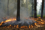 In this June 11, 2019 photo, flames spread along the forest floor of Cedar Grove during a prescribed fire in Kings Canyon National Park, Calif. The prescribed burn, a low-intensity, closely managed fire, was intended to clear out undergrowth and protect the heart of Kings Canyon National Park from a future threatening wildfire. The tactic is considered one of the best ways to prevent the kind of catastrophic destruction that has become common, but its use falls woefully short of goals in the West. (AP Photo/Brian Melley)