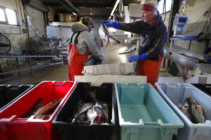 FILE - This March 25, 2020, file photo shows a small load of pollack being sorted as it comes off a boat at the Portland Fish Exchange in Portland, Maine. The amount of commercial fishing taking place worldwide has dipped since the start of the coronavirus pandemic, but scientists and conservation experts say it's unclear if the slowdown will help jeopardized species of sea life to recover. (AP Photo/Robert F. Bukaty)