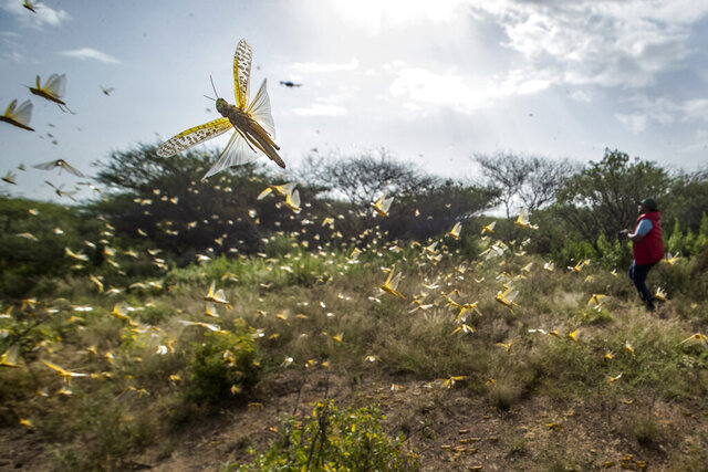 In this photo taken Saturday, Feb. 1, 2020, desert locusts jump up from the ground and fly away as a cameraman walks past, in Nasuulu Conservancy, northern Kenya. As locusts by the billions descend on parts of Kenya in the worst outbreak in 70 years, small planes are flying low over affected areas to spray pesticides in what experts call the only effective control. (AP Photo/Ben Curtis)
