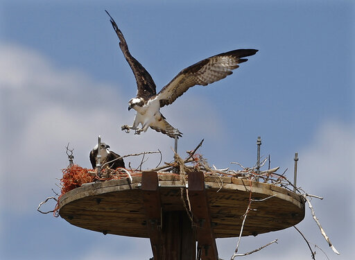 FILE - In this April 24, 2010, file photo, is a pair of Osprey on a new nesting platform along the Yellowstone River near Billings, Mont. Wildlife advocates have started a petition to pressure state officials to stop killing ospreys, great blue herons and other birds that eat or harass bass at the Miles City Fish Hatchery.  (Casey Riffe/The Billings Gazette via AP)