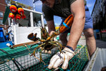 In this Friday, May 29, 2020 photo, Eric Pray unpacks a lobster on a wharf in Portland, Maine. Pray is one of many fishermen and farmers who have pivoted quickly to sell to directly to consumers after the coronavirus shutdown cut out usual sales options. (AP Photo/Robert F. Bukaty)