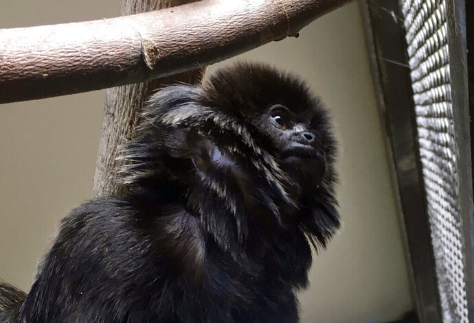 In this undated photo provided by the Palm Beach Zoo, Kali, a 12-year-old rare Goeldi's monkey, sits on a branch at an enclosure at the zoo, in West Palm Beach, Fla. Police in Florida are on the lookout for the monkey that was stolen Monday, Feb. 11, 2019, from the zoo. Zoo president Margo McKnight said Goeldi's monkeys are