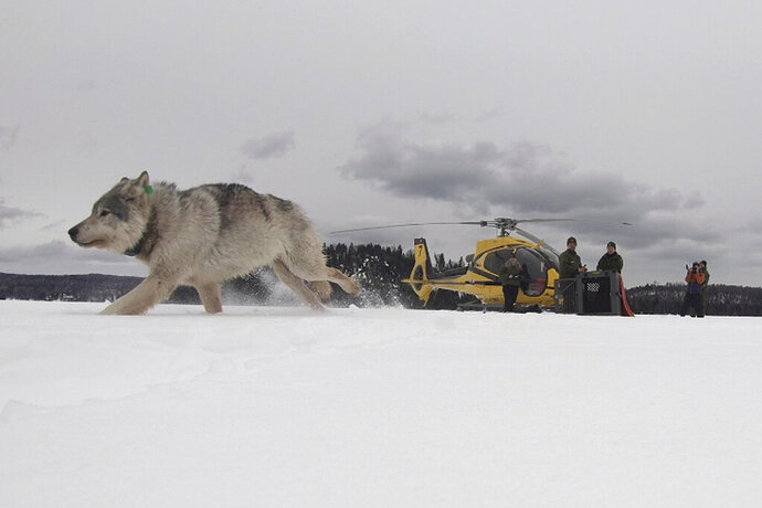 This Feb. 28, 2019 photo provided by the Ontario Ministry of Natural Resources and Forestry, the U.S. National Park Service and the National Parks of Lake Superior Foundation shows a white wolf released onto Isle Royale National Park in Michigan. Authorities have relocated four Canadian wolves to Isle Royale National Park in Michigan in an ongoing effort to restore the predator species on the Lake Superior island chain. (Daniel Conjanu/The National Parks of Lake Superior Foundation via AP)
