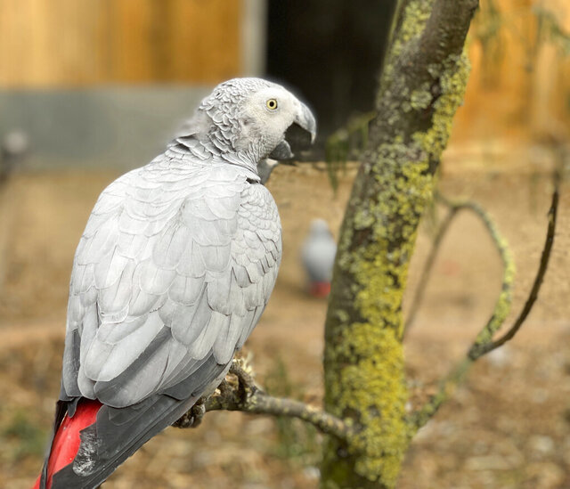 This photo taken on Saturday Sept. 26, 2020 and issued by Lincolnshire Wildlife Park shows an African grey parrot at Lincolnshire Wildlife Centre in Friskney, England, one of five  who were separated as keepers say they were encouraging each other to swear. Billy, Eric, Tyson, Jade and Elsie joined Lincolnshire Wildlife Centre's colony of 200 grey parrots in August, and soon revealed a penchant for blue language. (Steve Nichols/Lincolnshire Wildlife Park via AP)