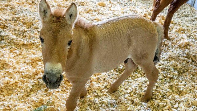 This Sept. 1, 2020 photo provided by San Diego Zoo Global shows Kurt, a tiny horse who is actually a clone. Little Kurt looks like any other baby horse as he frolics playfully in his pen. But the 2-month-old, dun-colored colt was created by fusing cells taken from an endangered Przewalski's horse at the San Diego Zoo in 1980. The cells were infused with an egg from a domestic horse that gave birth to Kurt two months ago. The baby boy was named for Kurt Benirschke, a founder of the San Diego Zoo's Frozen Zoo, where thousands of cell cultures are stored. Scientists hope he'll help restore the Przewalski's population, which numbers only about 2,000. (Christine Simmons/San Diego Zoo Global via AP)