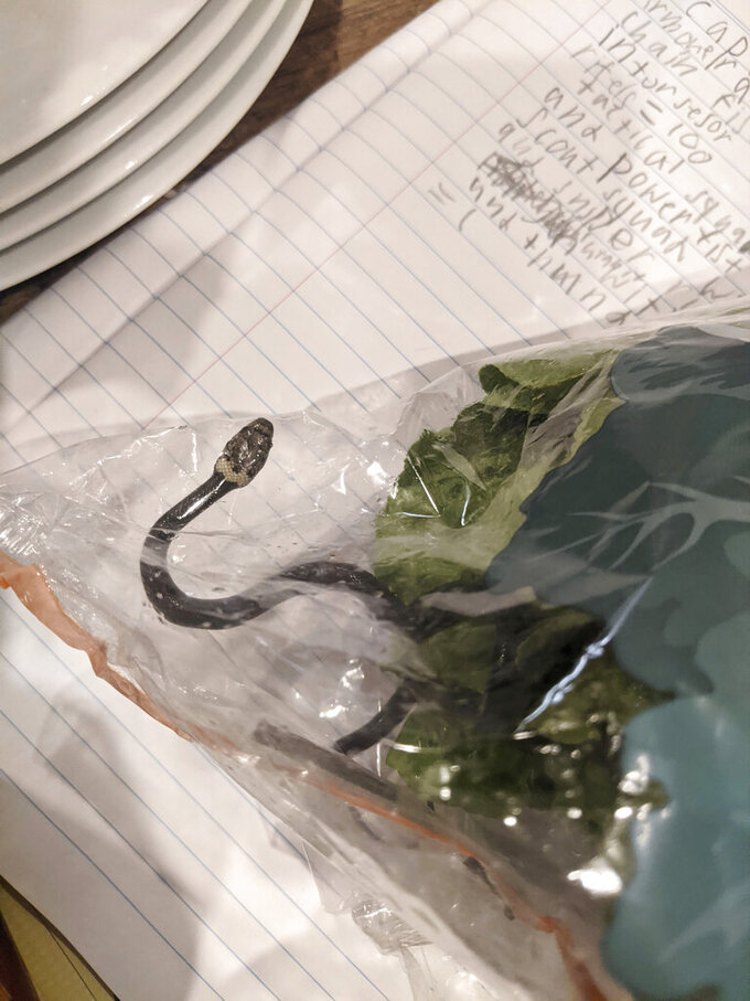 In this photo provided by Alex White, a Pale-headed snake is photographed in a bag of lettuce in Sydney, Monday, April 12, 2021. White thought he was watching a huge worm writhing in plastic-wrapped lettuce he'd just brought home from a Sydney supermarket, until a snake tongue flicked. (Alex White via AP)