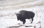A lone bison stands as a storm packing high winds and snow sweeps through the intermountain West Tuesday, Sept. 8, 2020, in Evergreen, Colo. Forecasters predict that the storm will continue through Wednesday before moving out on to the plains. (AP Photo/David Zalubowski)