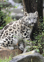 Ahava, a 3-month-old snow leopard cub, sits in an enclosure, Wednesday, Sept. 9, 2020, at Brookfield Zoo in Brookfield, Ill. Ahava made her debut at the zoo outside Chicago on an unusually cool day. Temperatures hovered in the mid-60s as Ahava (Ah-ha-vah), love in Hebrew, explored her outdoor habitat along the zoo's Big Cats walkway. The cub has been kept behind the scenes as she bonded with her mother Malaya, (Jim Schulz/Chicago Zoological Society via AP)