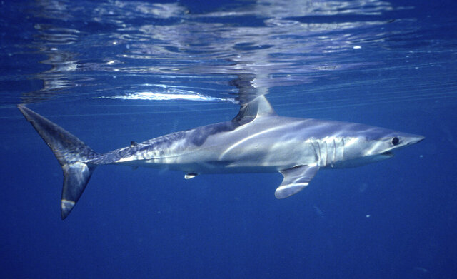 This 2001 photo provided by Dr. Greg Skomal shows a shortfin mako shark off the coast of Massachusetts. In a study published on Wednesday, Jan. 27, 2021, researchers found the abundance of oceanic sharks and rays has dropped more than 70% between 1970 and 2018. (Greg Skomal via AP)