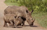 FILE - In this Sunday, Dec. 20, 2015 file photo, rhinos walk in the Hluhluwe Game Reserve in South Africa. South Africa's anti-COVID-19 lockdown is credited with helping to achieve a dramatic drop in rhino killings, but as the country opens up experts warn there is a risk of a resurgence of poaching of one of Earth's most endangered mammals. Redoubled efforts are critical to prevent a resurgence of killings of the country's rhinoceros, South African officials and wildlife activists say, as World Rhino Day is marked Tuesday, Sept. 22, 2020. (AP Photo/Schalk van Zuydam, File)